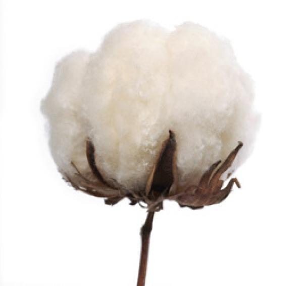 branche de fleur de coton